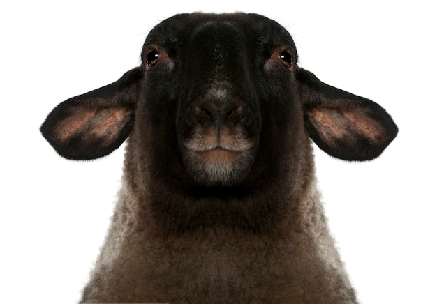 Женский суффолк, овца - овен овен, изолированные на белом