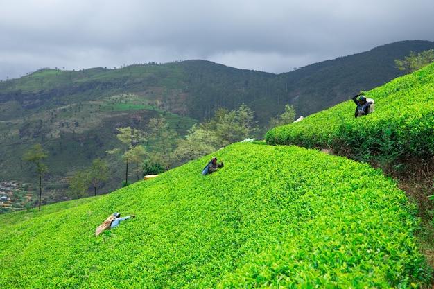 Female tea picker in tea plantation in mackwoods