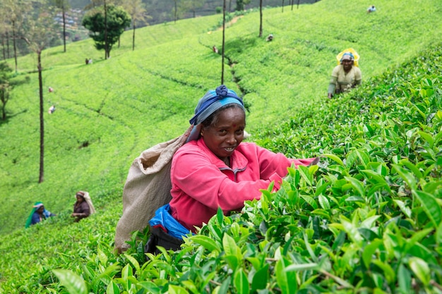 Female tea picker in tea plantation in mackwoods