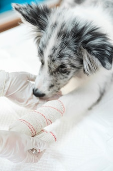 Female veterinarian applying white bandaged on dog's paw and limb