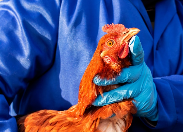 Female veterinarian in blue gloves and uniform holding red chicken. veterinary medicine.