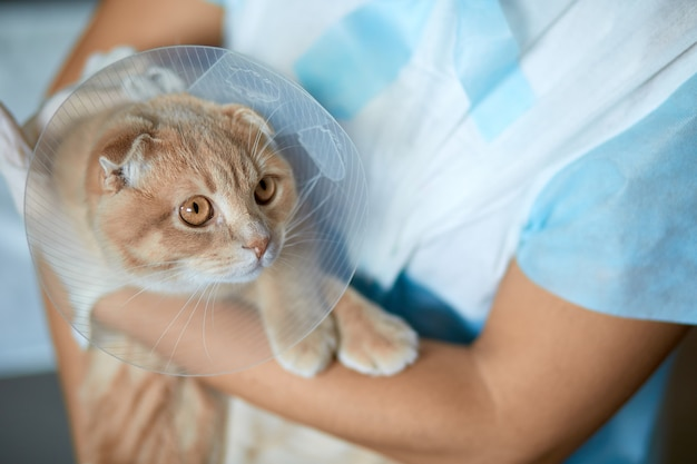 女性の獣医は去勢後、プラスチック製のコーンカラーの猫を手に持っています、獣医の概念。
