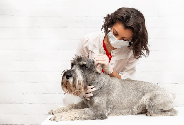 A female veterinarian in a protective mask examines the dogs sore ears