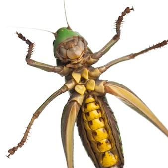 Самка бородавки (decticus verrucivorus) представляет собой куст-крикет
