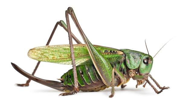Female wart-biter (decticus verrucivorus) is a bush-cricket