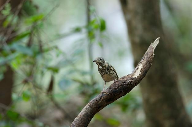 Female of white-throated rock thrush (monticola gularis) in nature thailand