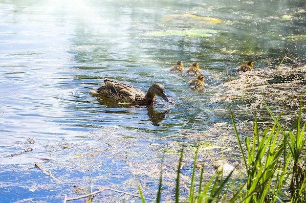 Плавание самок деревянных уток