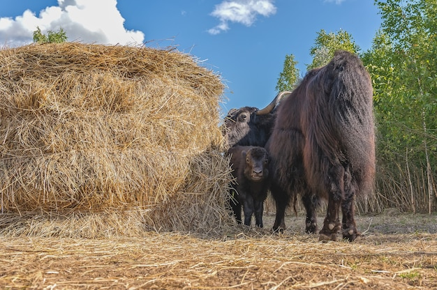 Female yak with a small calf grazes near a haystack.