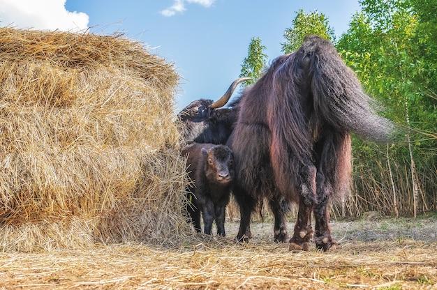 A female yak with a small calf grazes near a haystack