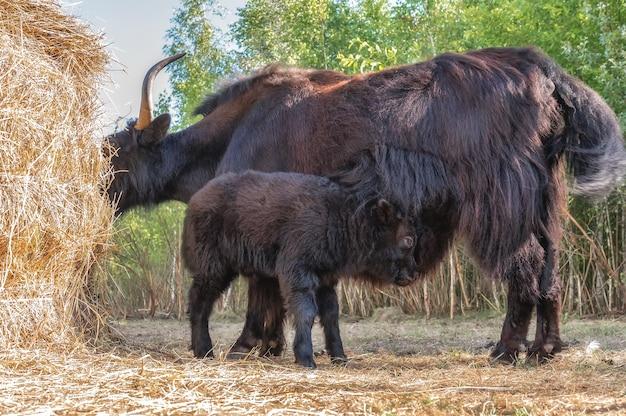 A female yak with a small calf grazes near a haystack.