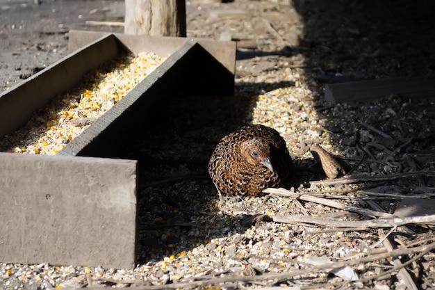 Самки фазанов в вольере хранятся для размножения