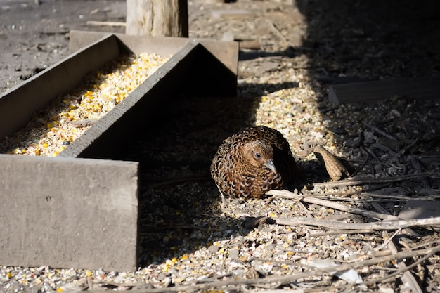 Females of pheasants in the state aviary are kept for reproduction