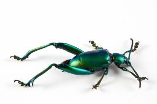 サグラfemorata甲虫昆虫