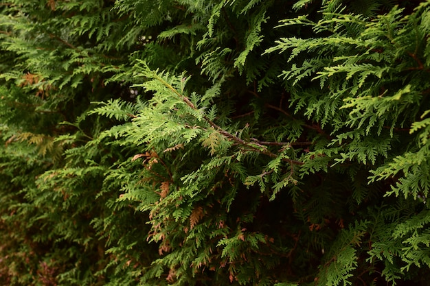 A fence from a green shrub of a thuja plant leaving in perspective for the whole frame