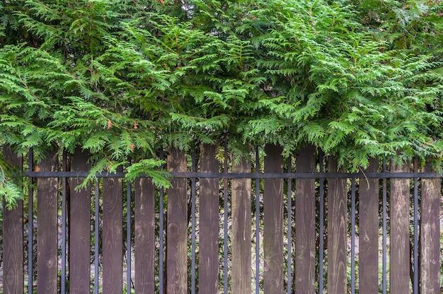 Забор из тонких досок и металлических брусков, поверх ветки хвойного дерева.