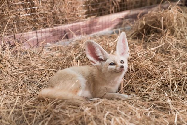 Fennec fox or desert fox
