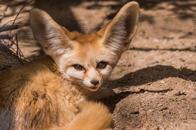 Fennec 여우 또는 사막 여우는 웅크리고 자고 있는 귀여운 작은 여우를 닫습니다.
