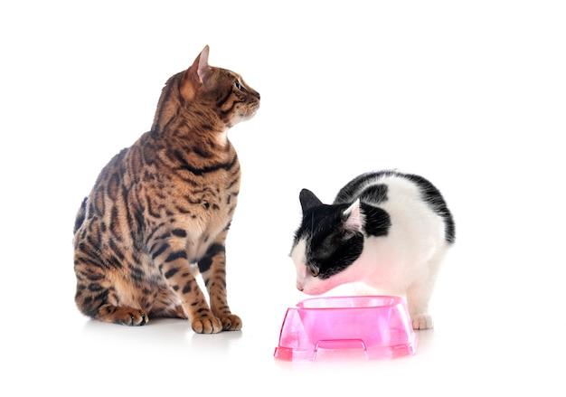白で隔離される野良猫とベンガル猫