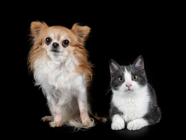 Feral cat and chihuahua in front of black surface