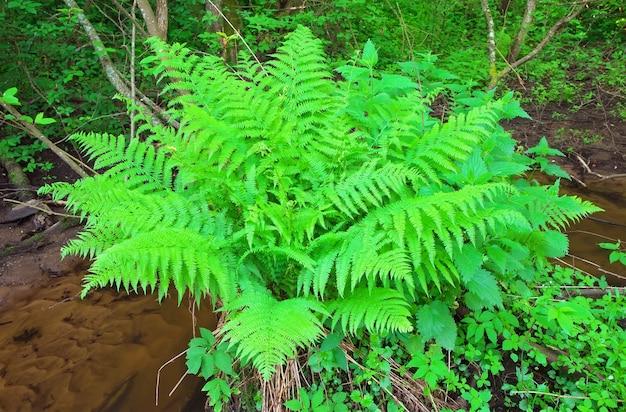 小川の近くの森で育つシダ