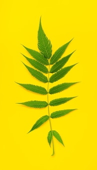 Fern leaf in the center of the frame: green leaf on a bright yellow background. minimal concept.
