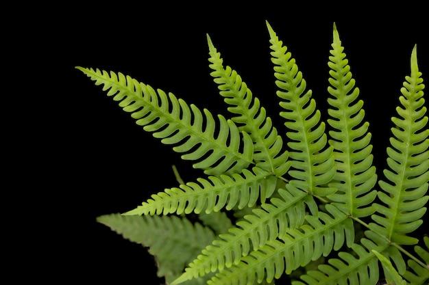Растение тропического леса листьев папоротника зеленое изолированное на черной предпосылке с путем клиппирования.