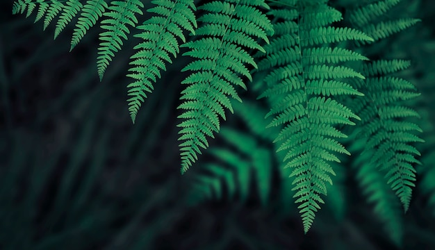 Fern leaves dark green background with shallow depth of field