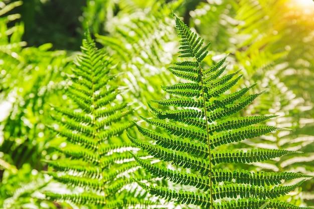고사리 잎. 자연 풍경에 녹색 고사리 식물입니다. 숲에서 고사리 식물입니다. 신선한 녹색 열 대 단풍입니다. 화창한 정글 풍경입니다. 녹색 식물 자연 벽지. 유기 자연 배경입니다.