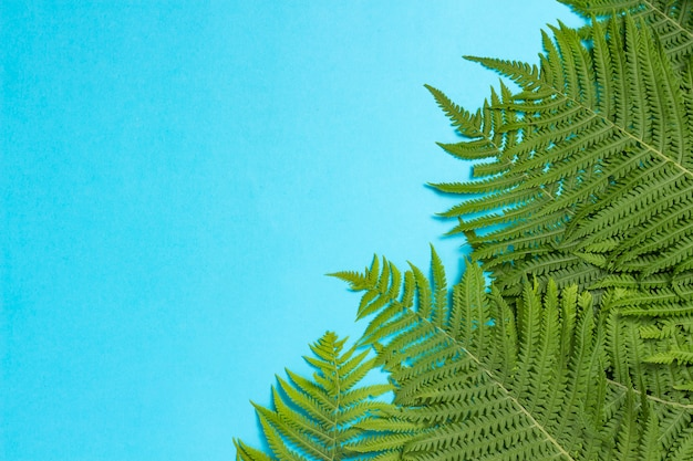 Fern leaves or palm trees on a blue isolated background. concept of the tropics. copy space. flat lay, top view