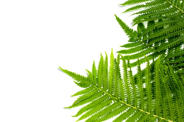 Fern leaves or palm trees on a white isolated background. concept of the tropics. copy space. flat lay, top view
