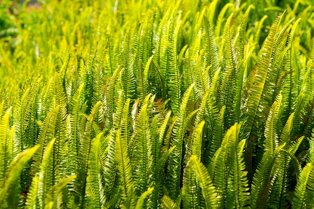 Fern pteridium aquilinum plant in canaries