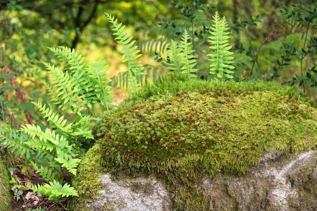 森の岩の上で育つシダ。