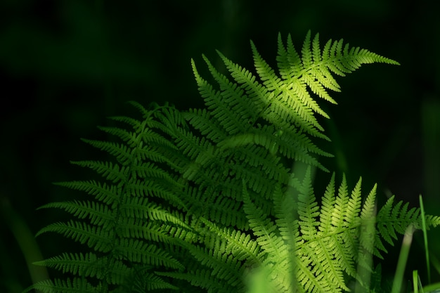 Ferns leaves green foliage. natural floral fern background in sunlight.