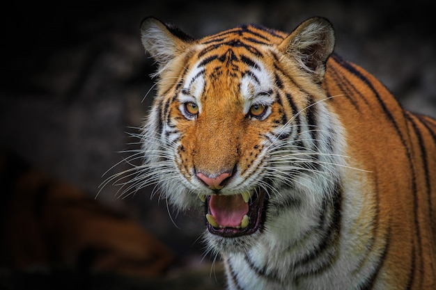 Ferocious face of an indochinese tiger