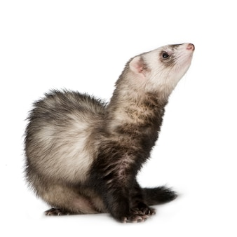 Ferret (2 years) isolated