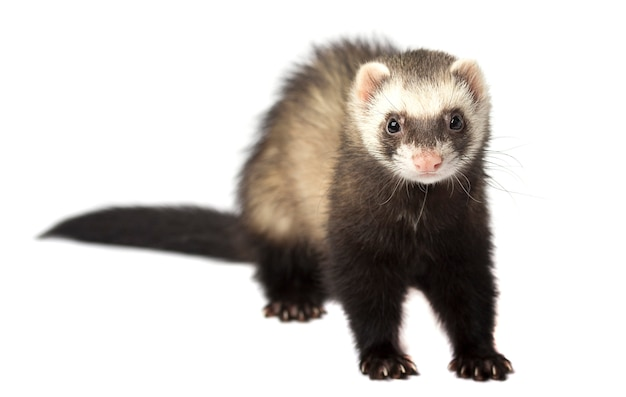 Ferret in full growth lies isolated on white