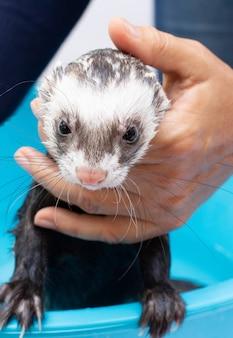 Ferret getting a bath portrait