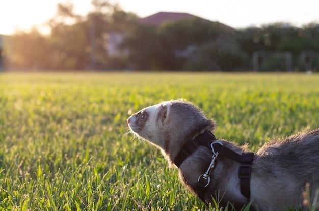 緑の草の日没の夜のフェレット