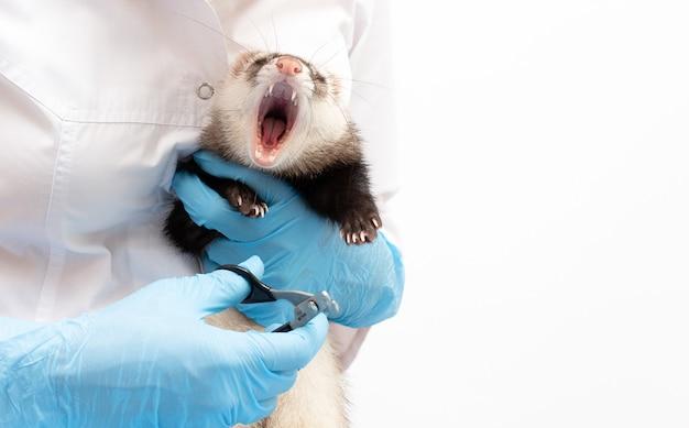 Хорек в ветеринарной клинике ножницы для когтей для домашних животных, таких как собаки и кошки или хорьки, изолированные на белом