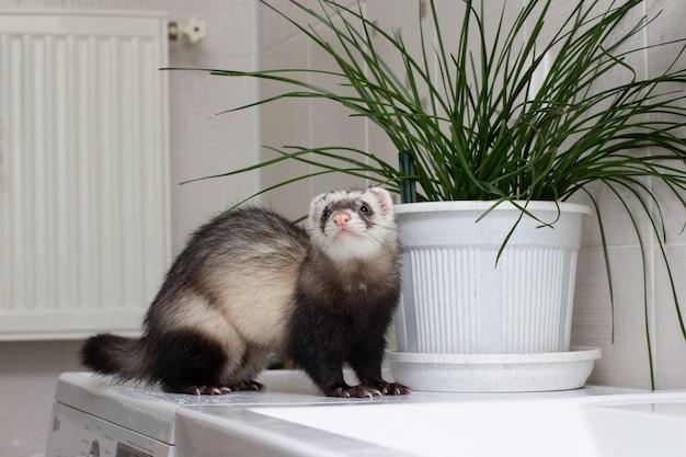 フェレット(ケナガイタチ)がバスルームで遊ぶ