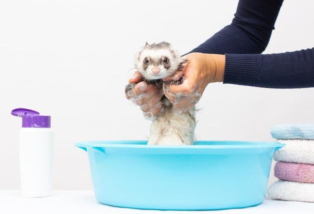 フェレット(ポールキャット)は白い背景の水で洗う