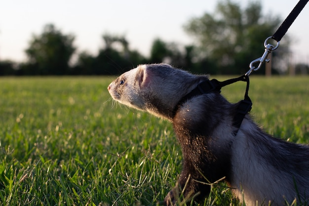 Хорек с ошейником на поводке в траве