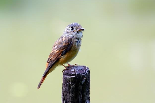 Ferruginous flycatcher muscicapa ferruginea beautiful birds of thailand