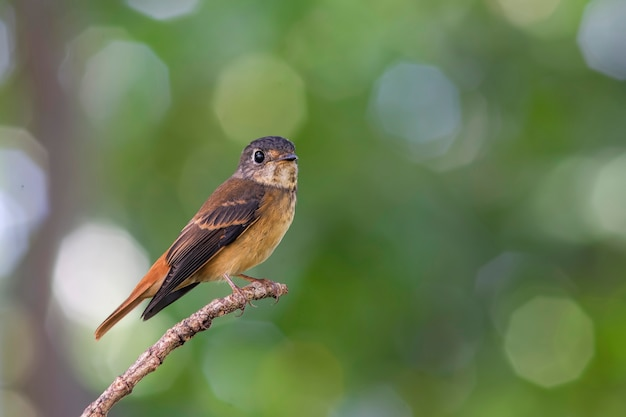 Ferruginous flycatcher muscicapa ferrugineaタイの美しい鳥