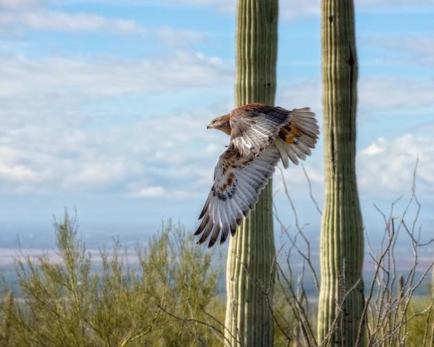 Ferruginous hawk in flight across the arizona desert