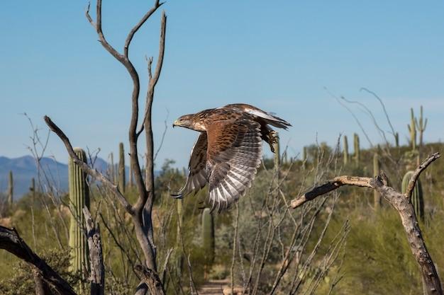 Ferruginous hawk in flight across the arizona southwest desert