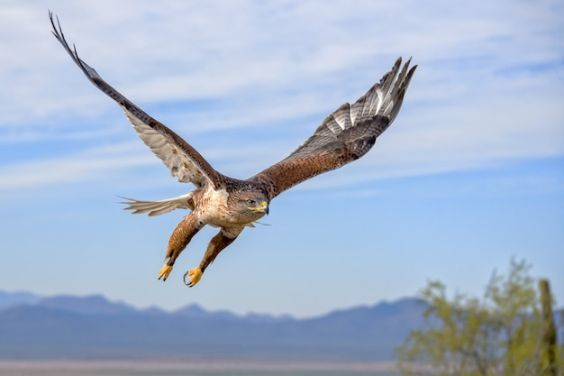 Ferruginous hawk in flight with mountains and sky as background
