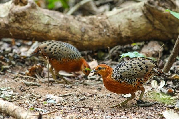 Ferruginous partridge (caloperdix oculea)