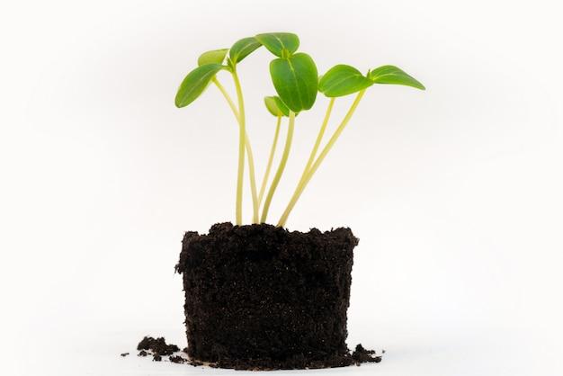 묘목을위한 수정 된 토양. 토양에서 녹색 어린 콩나물. 농업 작물. 성장하는 식물.