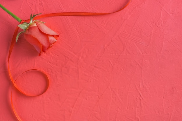 Festive composition from red rose and ribbon on pink for valentines day